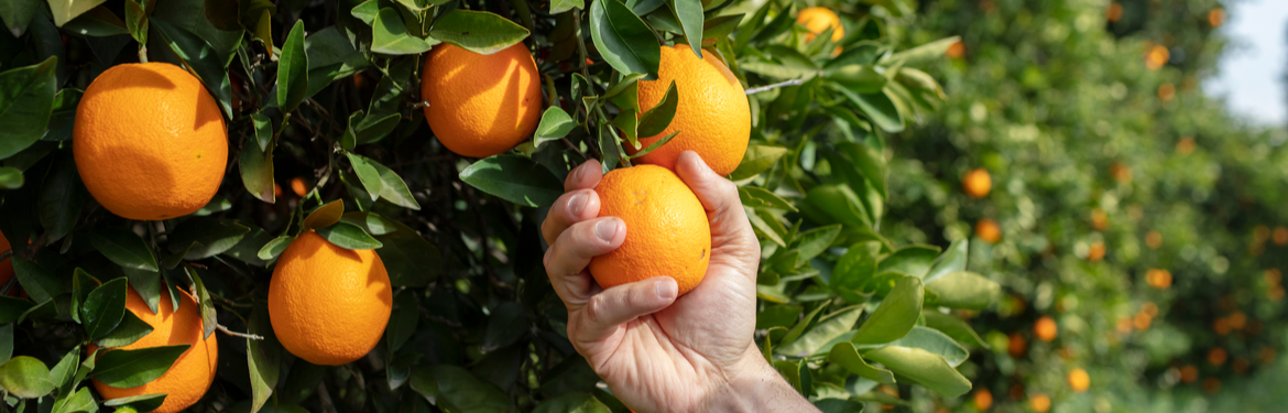 Man's hand holding an orange growing on a tree